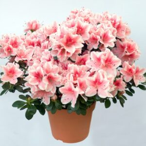азалия бело-розовая