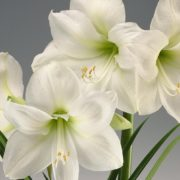 амарилис белый
