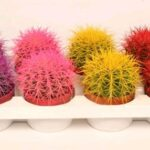 кактус цветной