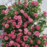 кустовая роза