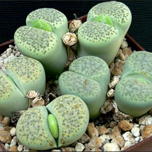 литопсы-живые камни