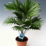пальма ливинстона