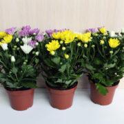 хризантема кустовая микс